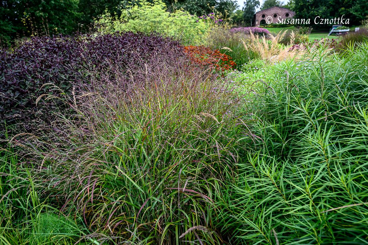 """Brauner Dost (Ageratina altissima """"Chocolate"""") neben Rutenhirse (Panicum virgatum)"""