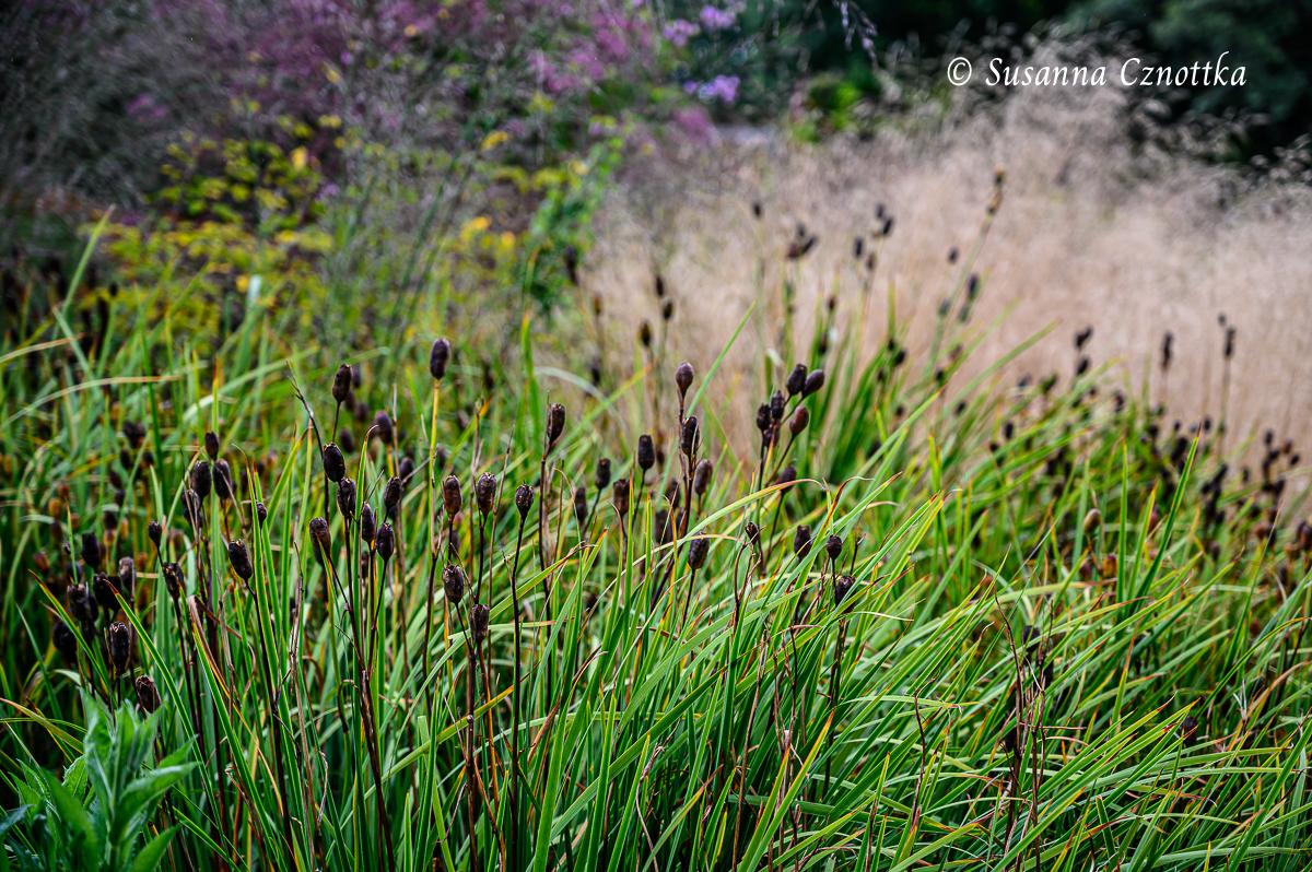 """Samenstände der Wieseniris (Iris sibirica) """"Caesar's Brother"""" kontrastieren mit hellerem Gras"""