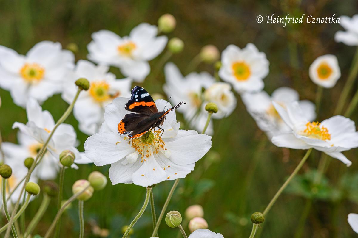 """Admiral auf der Herbstanemone (Anemone japonica-Hybride) """"Honorine Jobert"""""""