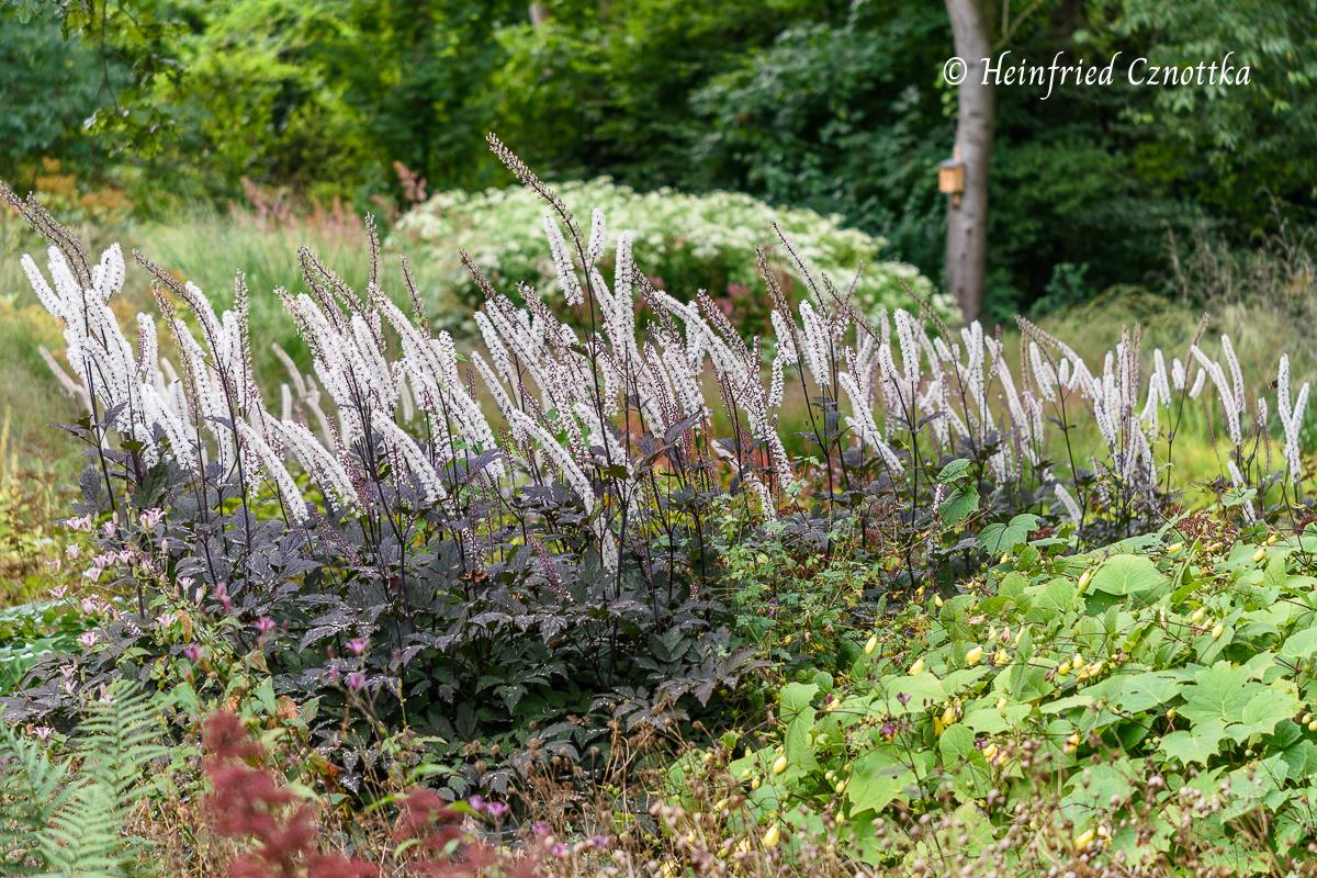 """Die fast schwarzlaubige Silberkerze (Actaea) """"Brunette"""""""