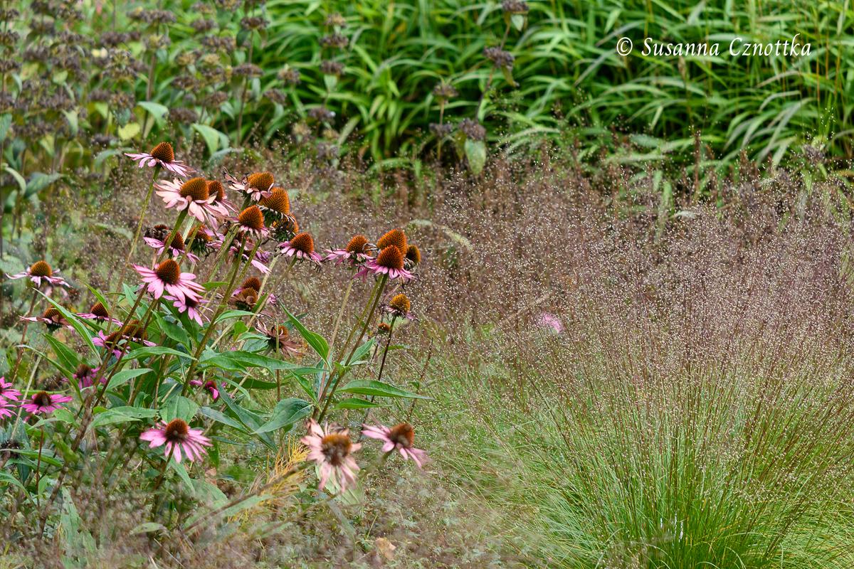 Scheinsonnenhut (Echinacea purpurea) mit Tautropfengras (Sporobolus heterolepis)