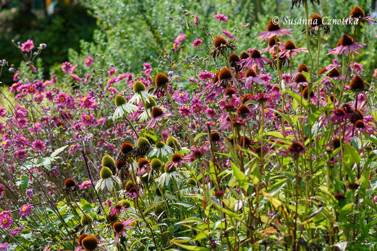 "Scheinsonnenhüte (Echinacea purpurea und Echinacea purpurea ""Alba"") mit Herbstanemone ""Pamina"""