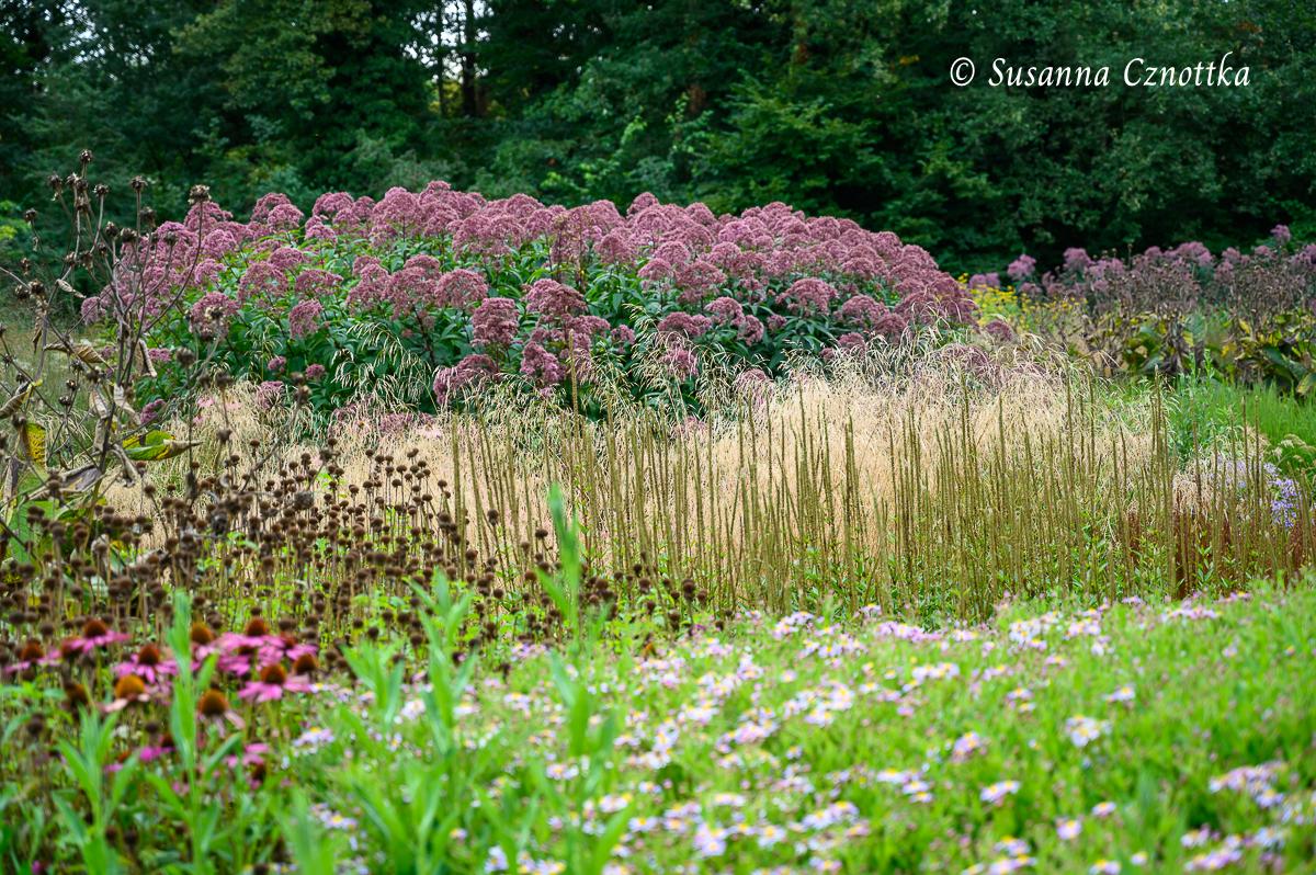 Samenstände von Indianernessel (Monarda) und Kandelaber-Ehrenpreis (Veronicastrum virginicum) vor Purpurdost (Eupatorium fistulosum)