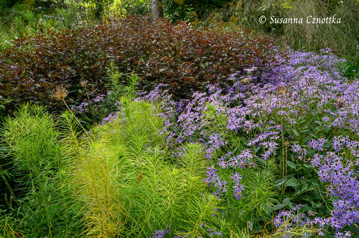 """Brauner Dost (Ageratina altissima) """"Chocolate"""", Blausternbusch (Amsonia hubrichtii) und Herzblatt-Aster (Aster x herveyi) """"Twilight"""""""
