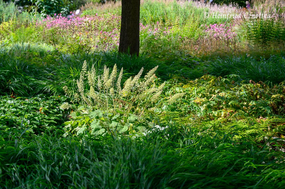Zottiges Silberglöckchen (Heuchera villosa var. macrantha) im Sonnenlicht
