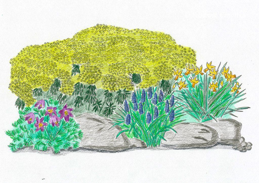 Mandelblättrige Wolfsmilch, Küchenschelle, Cyclamineus-Narzissen und Traubenhyazinthe, Zeichnung