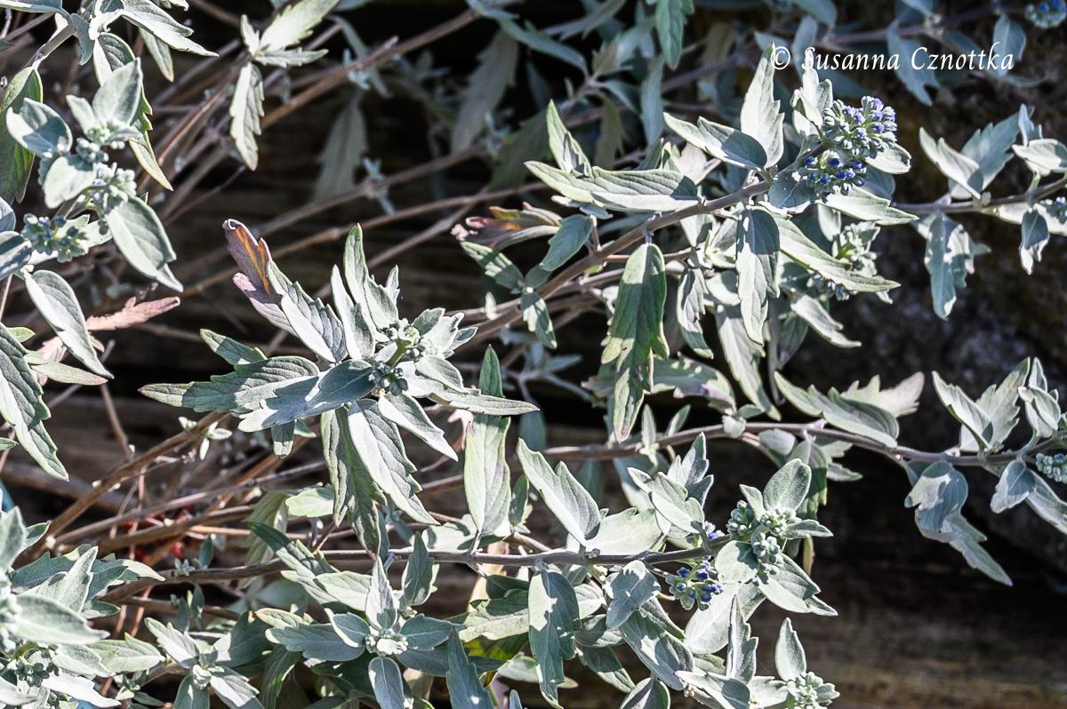 """Caryopteris x clandonensis """"Sterling Silver"""" mit silbergrauen Blättern"""