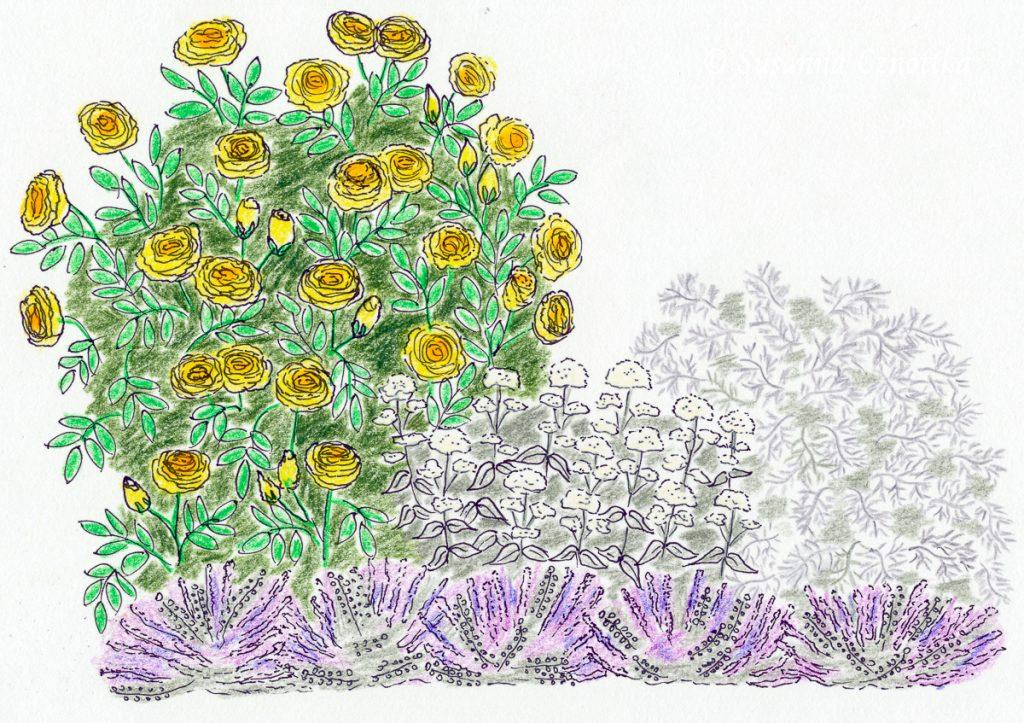 """englische Rose """"Graham Thomas"""" ,Lavendel, Spornblume, Zeichnung"""
