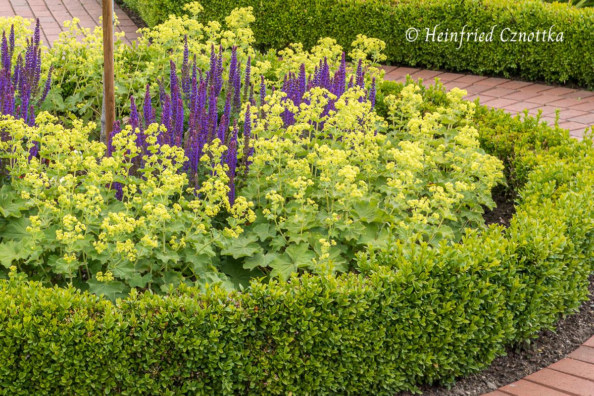Weicher Frauenmantel (Alchemilla mollis) mit Steppen-Salbei (Salvia nemorosa)