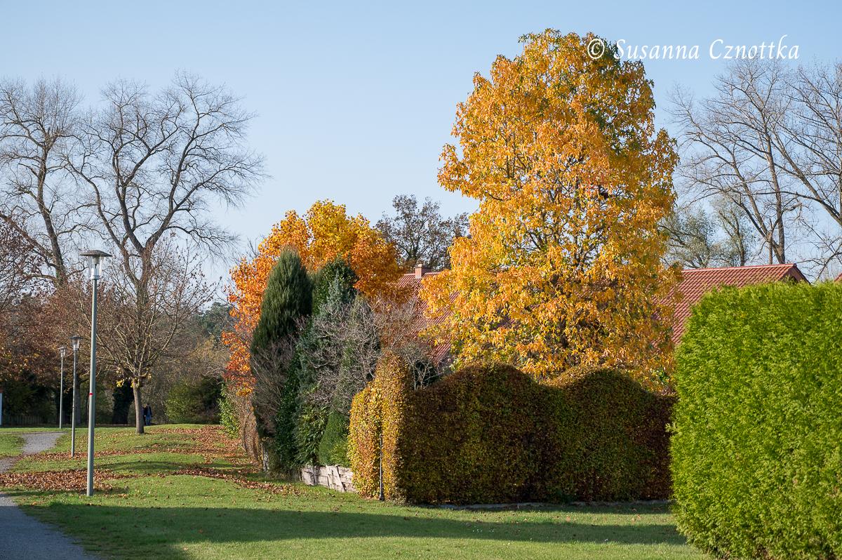 Leuchtendes Herbstlaub von Amberbaum (Liquidambar styraciflua) und Tulpenbaum (Liriodendron tulipifera)