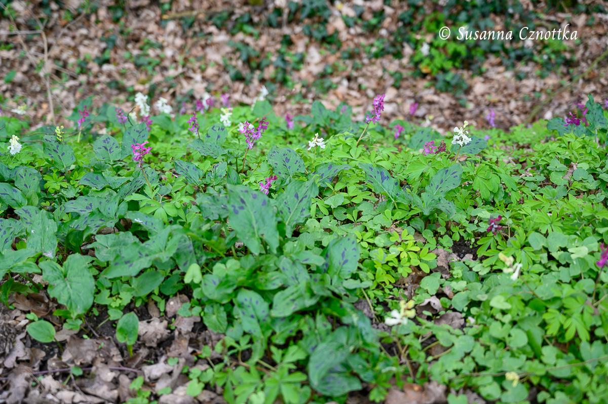Lerchensporn und Aronstab (Arum maculatum)