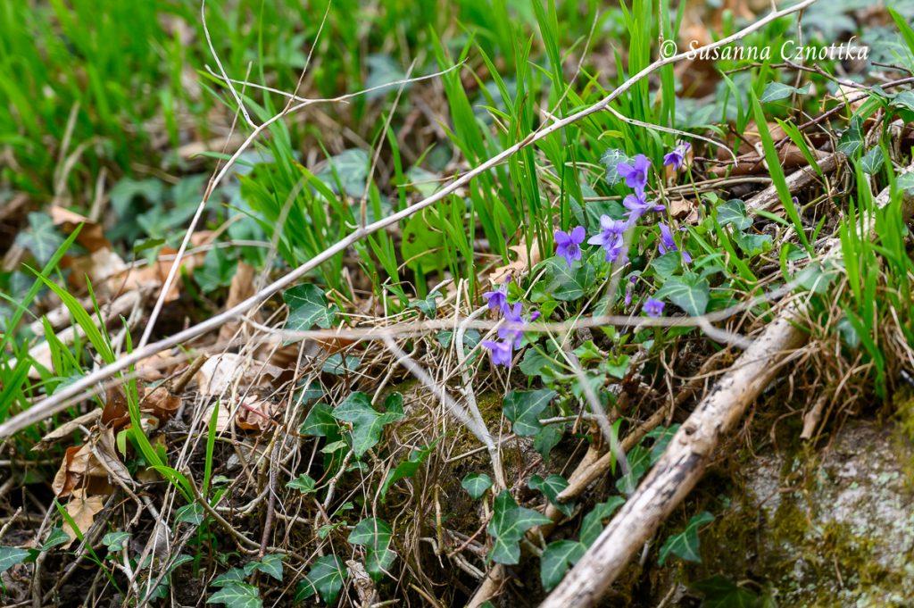 Die März- oder Duftveilchen (Viola odorata) fühlen sich am Rand des Gehölzes wohl