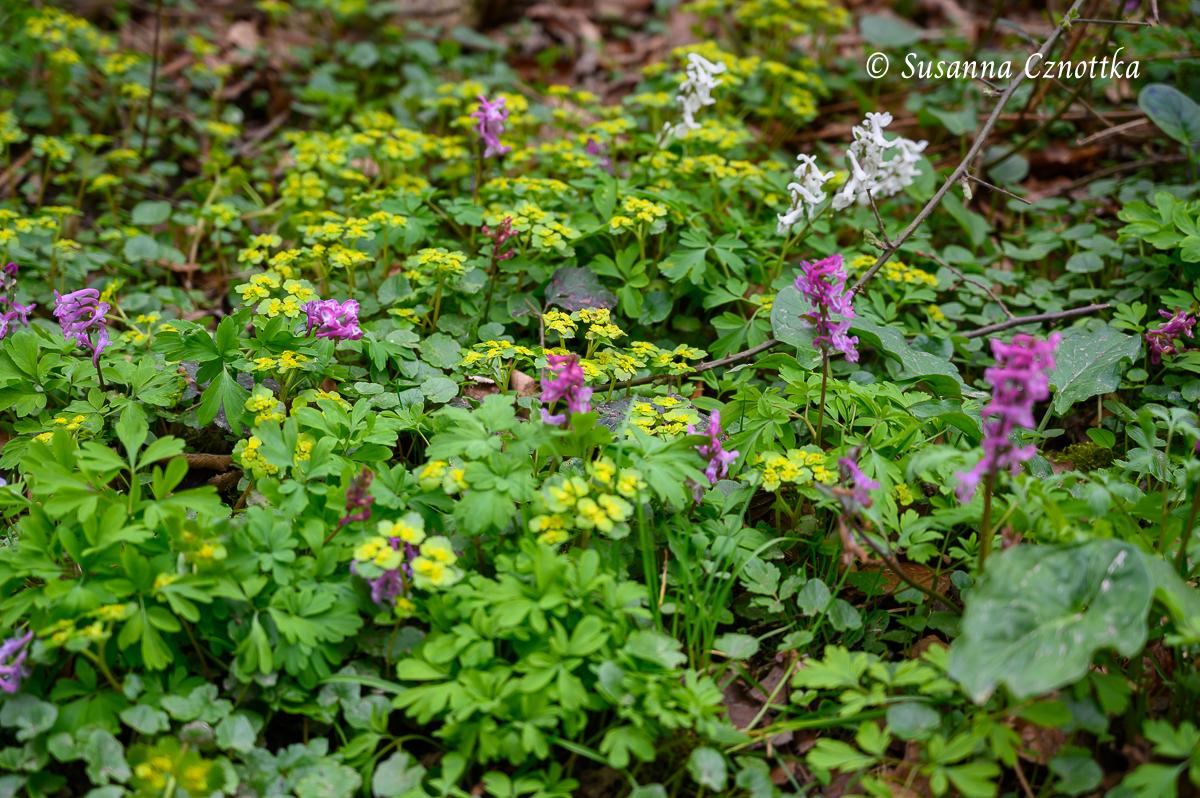 Lerchensporn und Wechselblättriges Milzkraut (Chrysosplenium alternifolium)