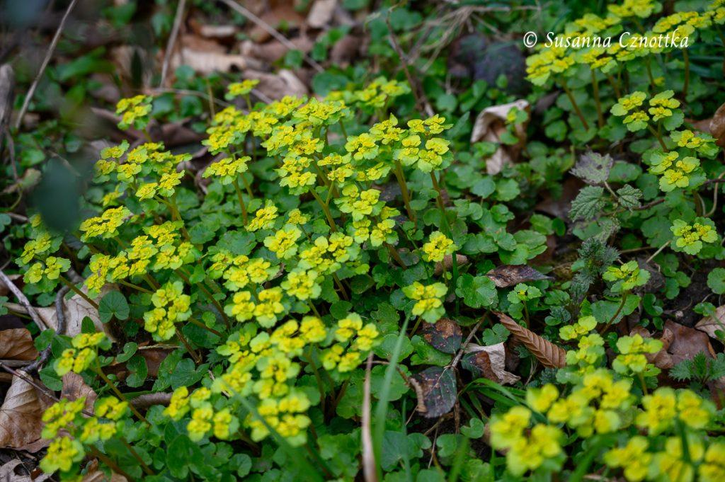 Wechselblättriges Milzkraut (Chrysosplenium alternifolium)