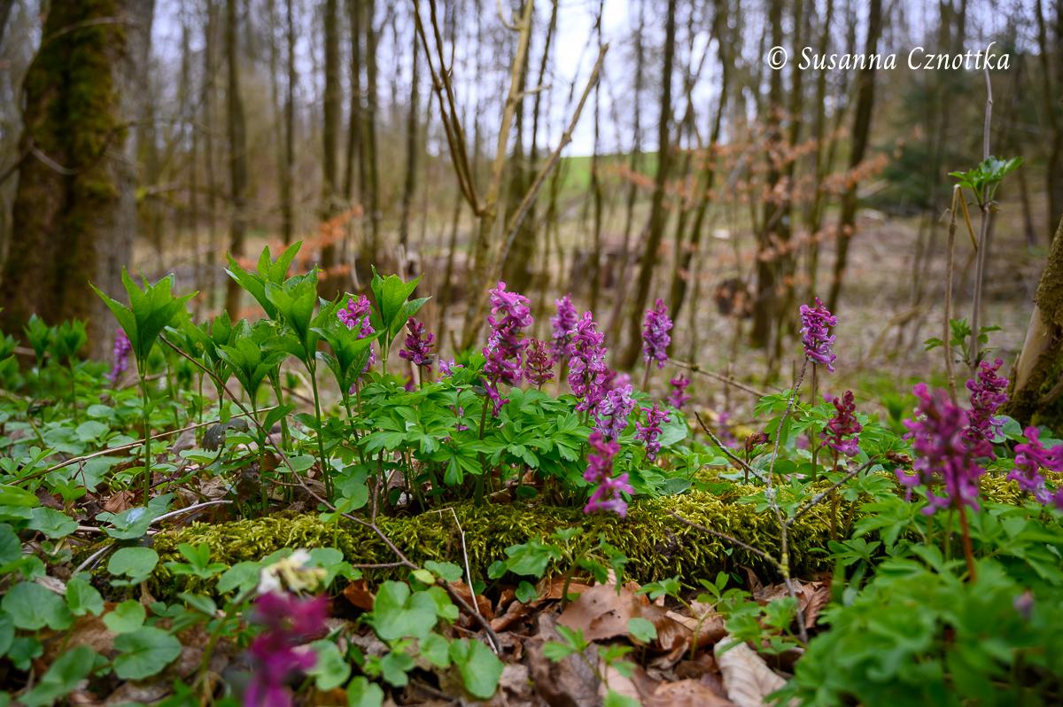 Wald-Bingelkraut und Lerchensporn