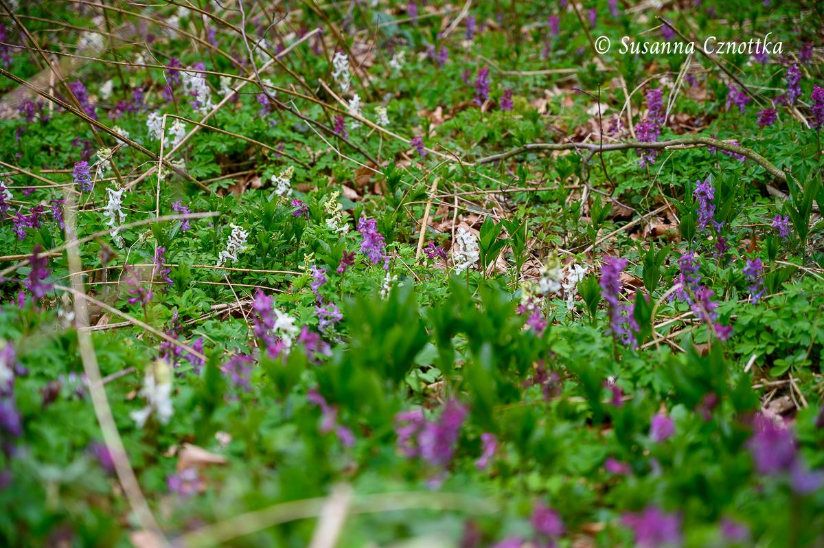 Der Lerchensporn blüht in weiß und in Rosa- und Violetttönen.