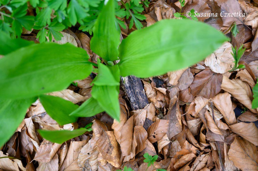 Bärlauchpflanze: ganz unten ist schon die Blütenknospe zu sehen!