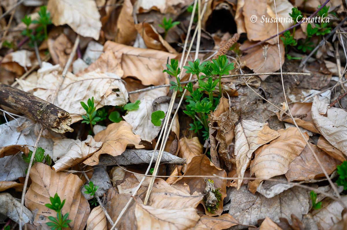 Der Waldmeister (Galium odoratum) beginnt, sich durch das alte Buchenlaub zu schieben.