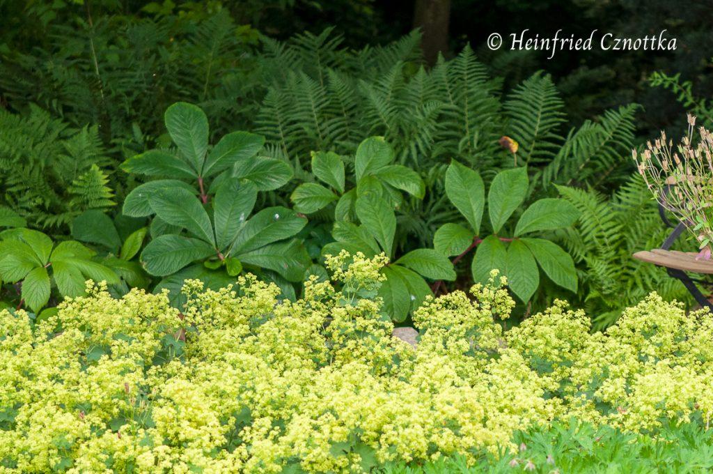 Weicher Frauenmantel (Alchemilla mollis) mit Farn und Schaublatt (Rodgersia)