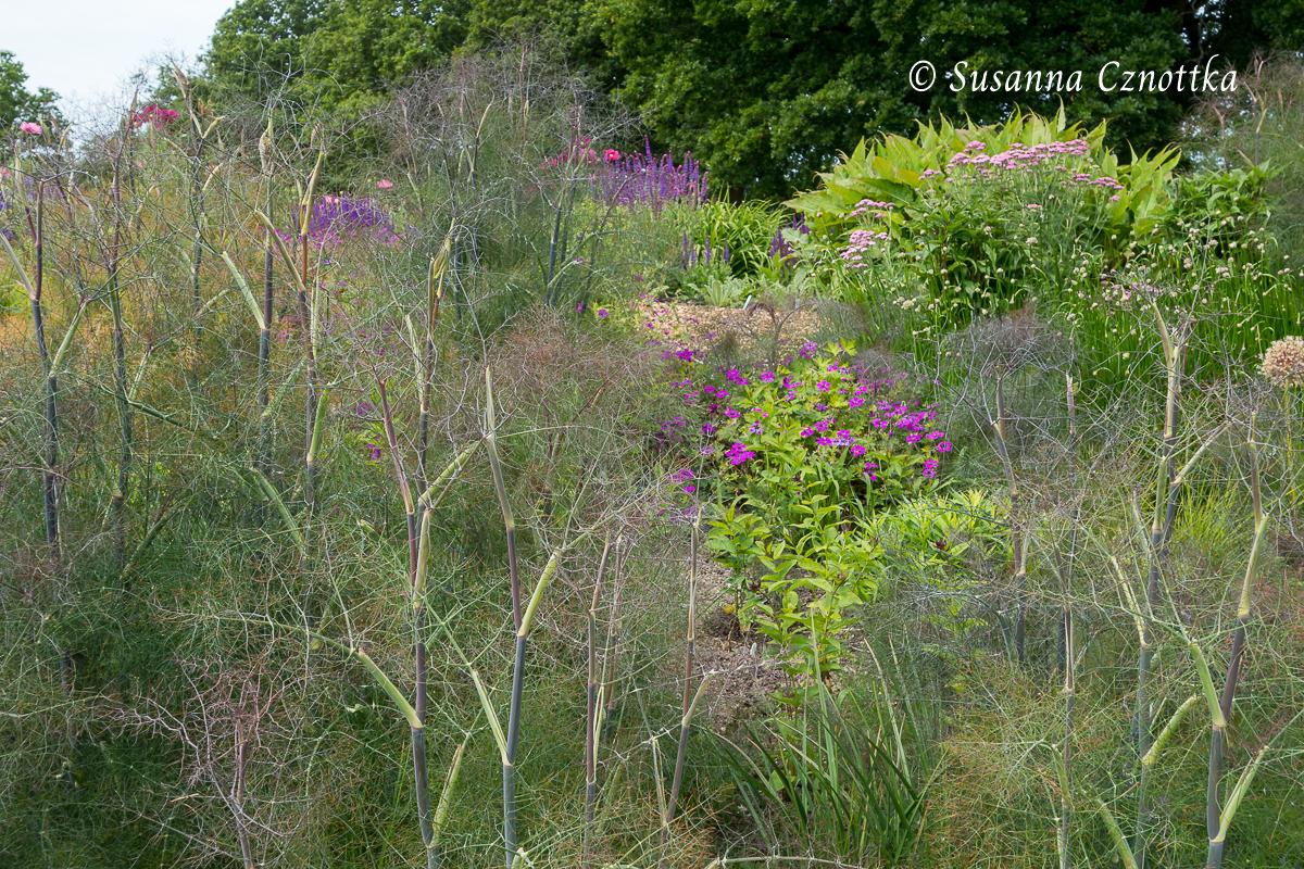 Sussex Prairies Garden, Fenchel, Foeniculum vulgare