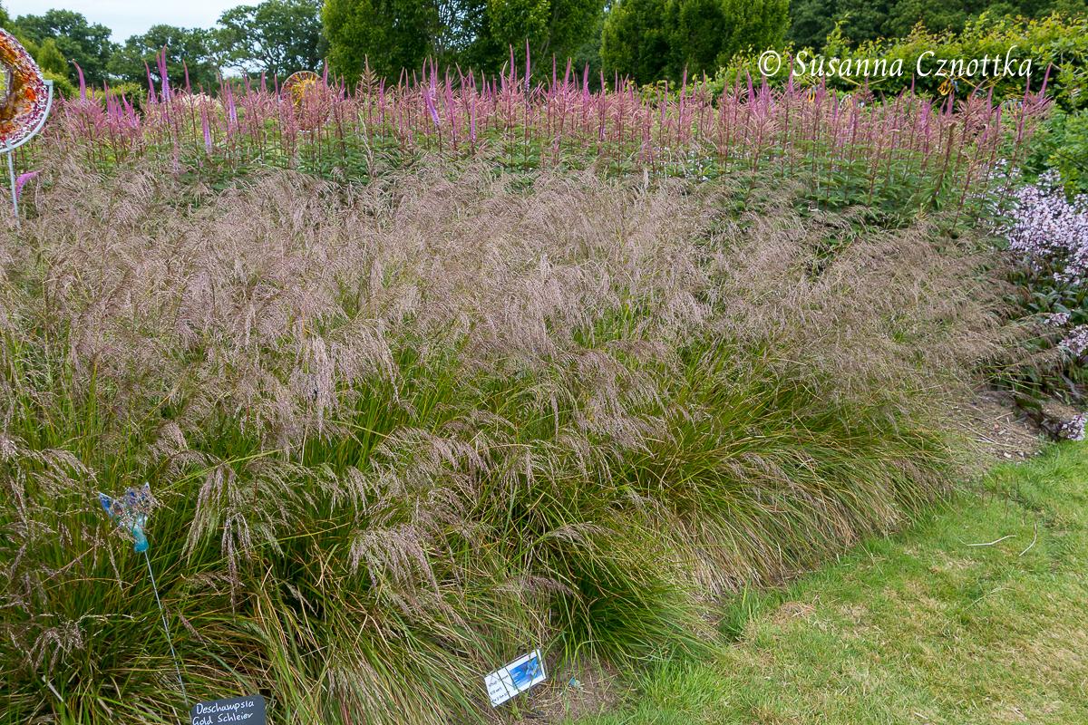 """Sussex Prairies Garden, Rasen-Schmiele """"Goldschleier"""" (Deschampsia cespitosa """"Goldschleier"""")"""