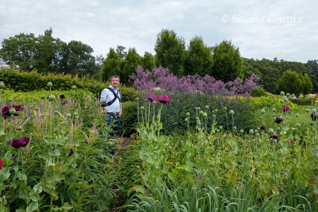 Sussex Prairies Garden, Schlafmohn (Papaver somniferum) und Wiesenraute (Thalictrum)