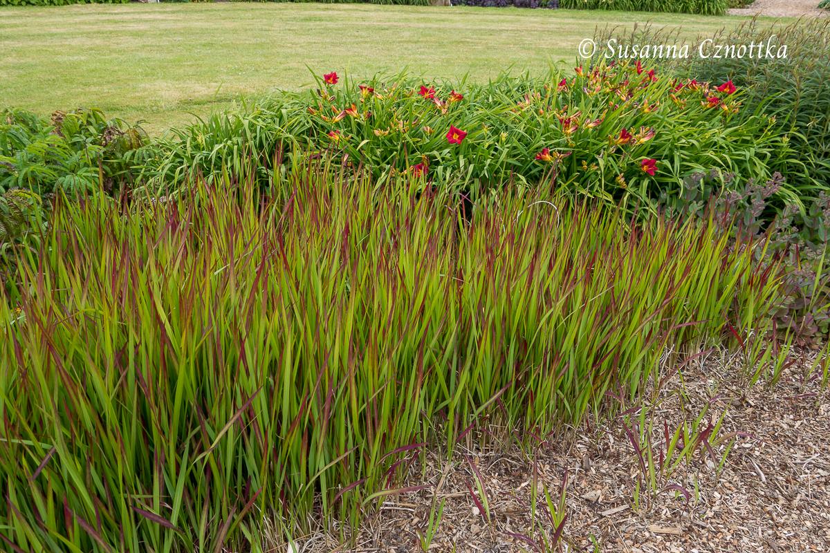"""Sussex Prairies Garden, rote Taglilie, Hemerocallis, Japanisches Blutgras (Imperata cylindrica """"Red Baron"""")"""