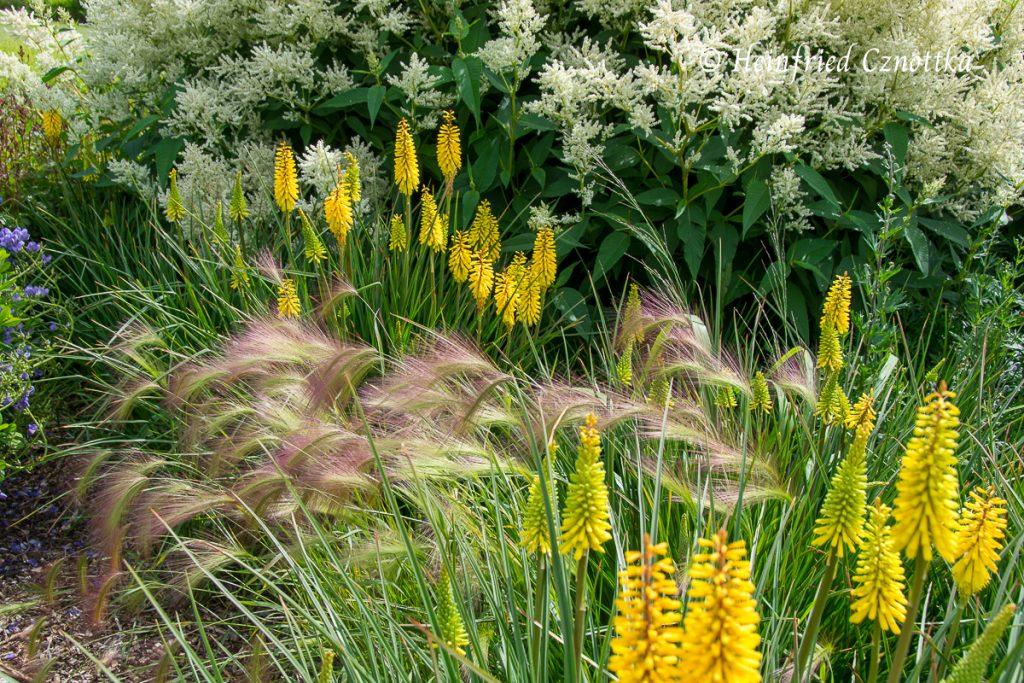 Sussex Prairies Garden, Kniphofia, Mähnengerste, Hordeum jubatum