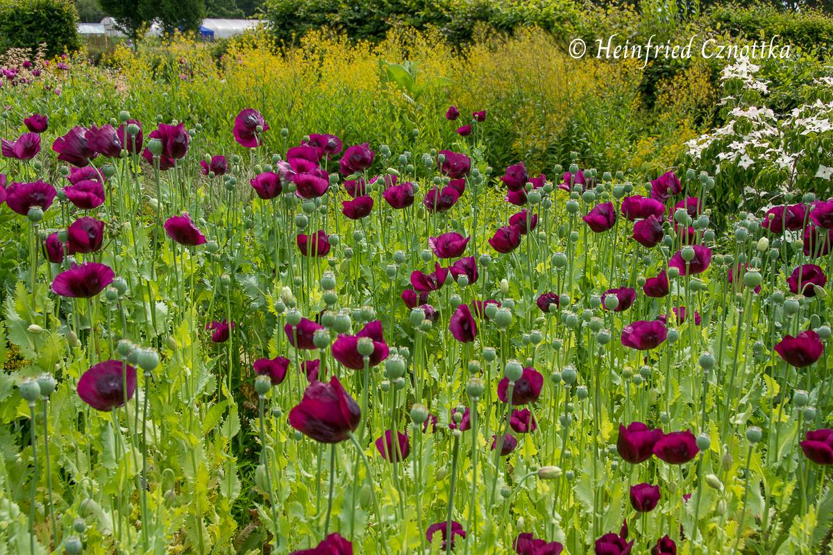 Sussex Prairies Garden, Schlafmohn  (Papaver somniferum) in kräftig dunklem Pink