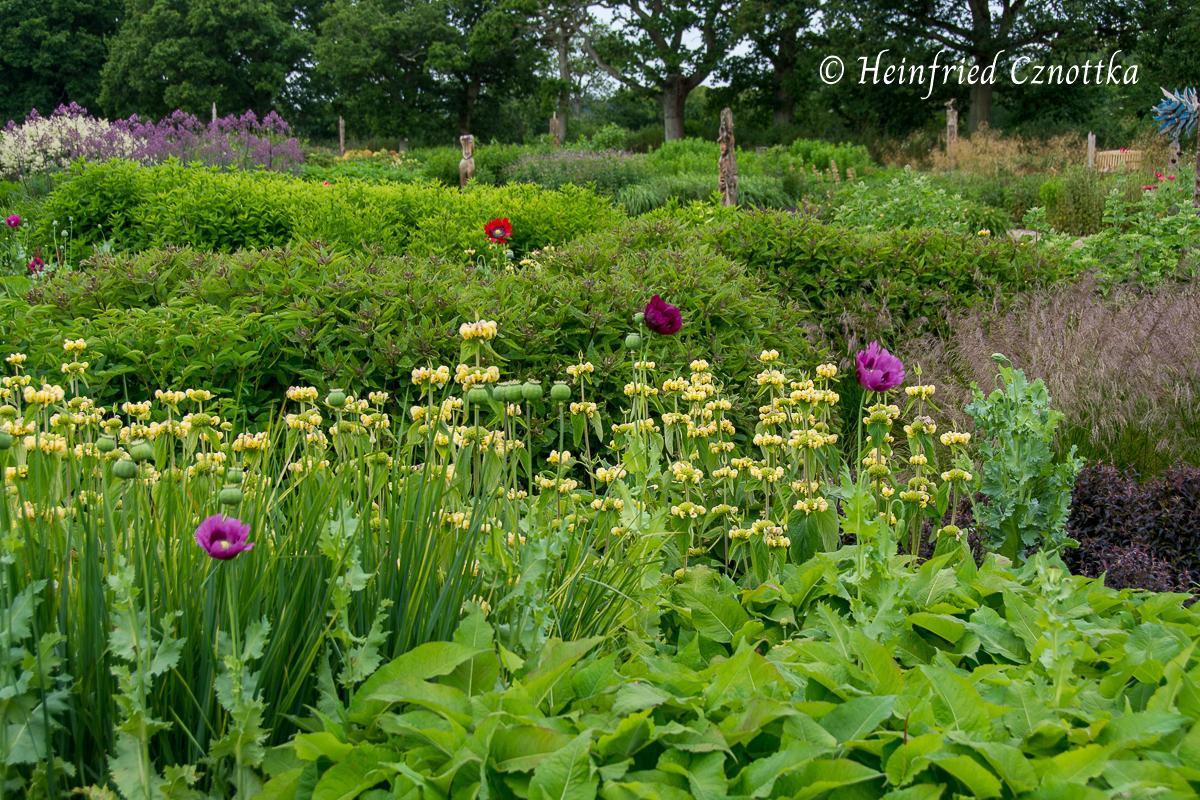 Sussex Prairies Garden, syrisches Brandkraut (Phlomis russeliana) und Schlafmohn (Papaver somniferum)