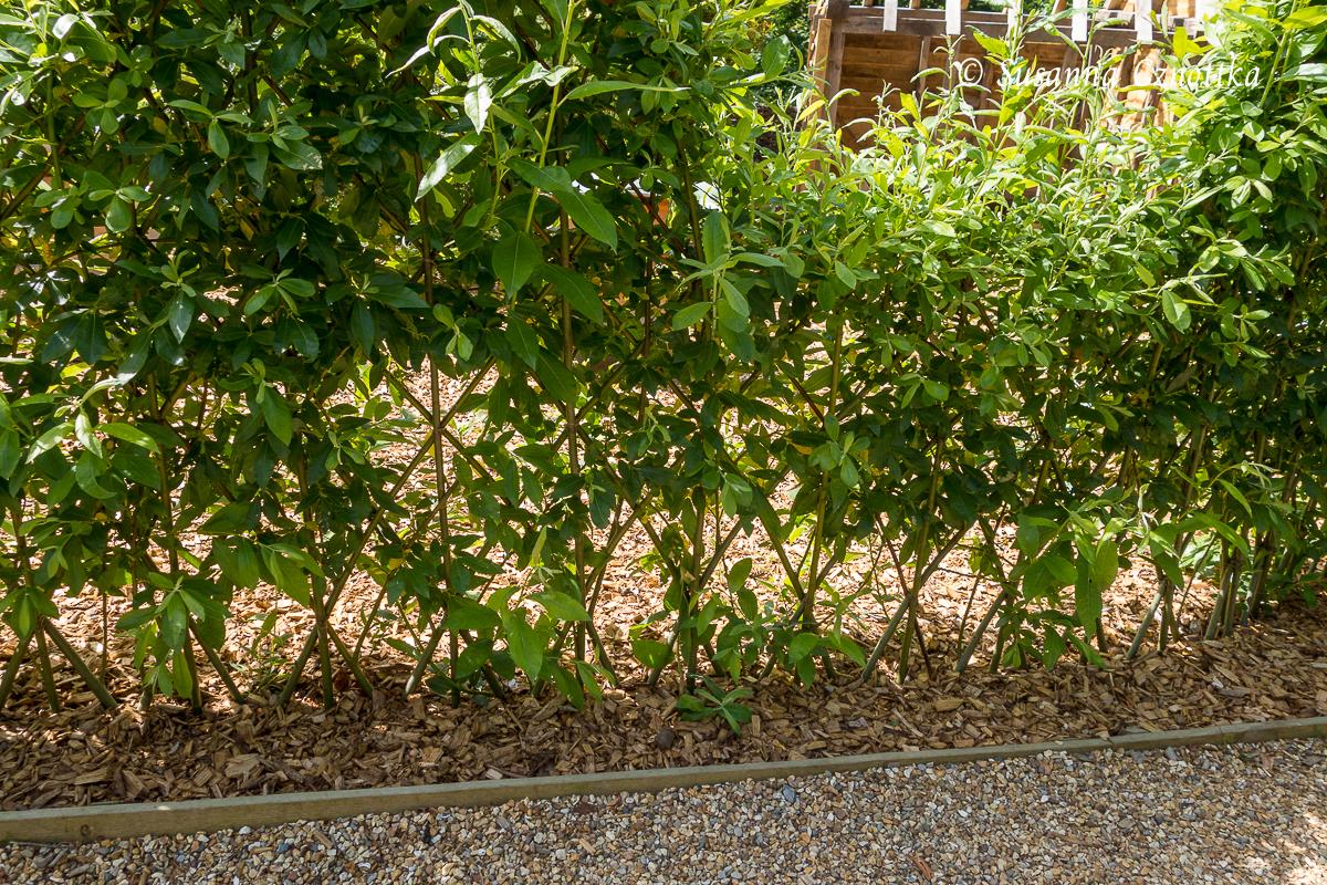 Lebender Zaun aus rautenförmig miteinander verbundenen Weidenruten